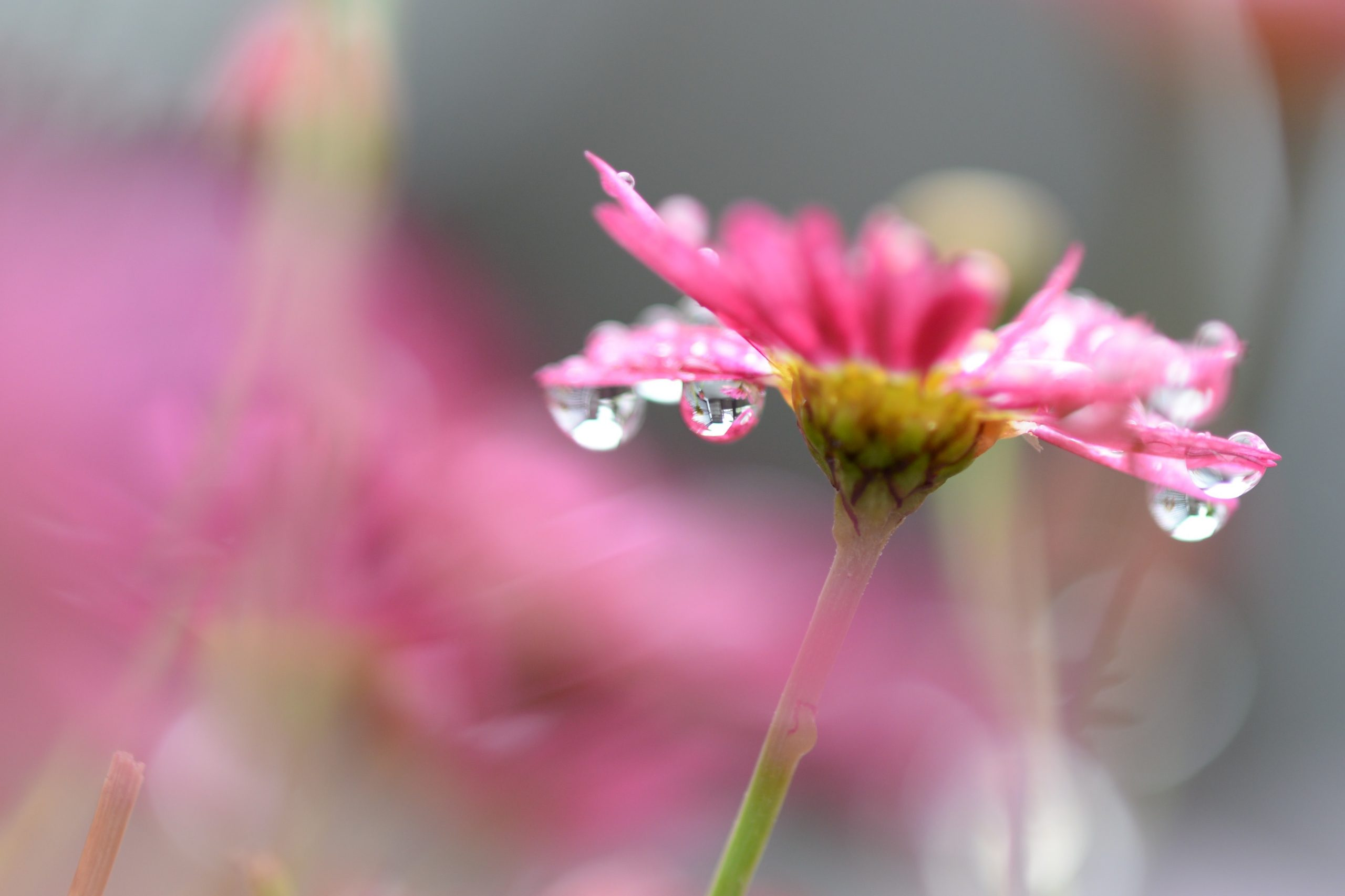 selective focus photography of pink daisy flower