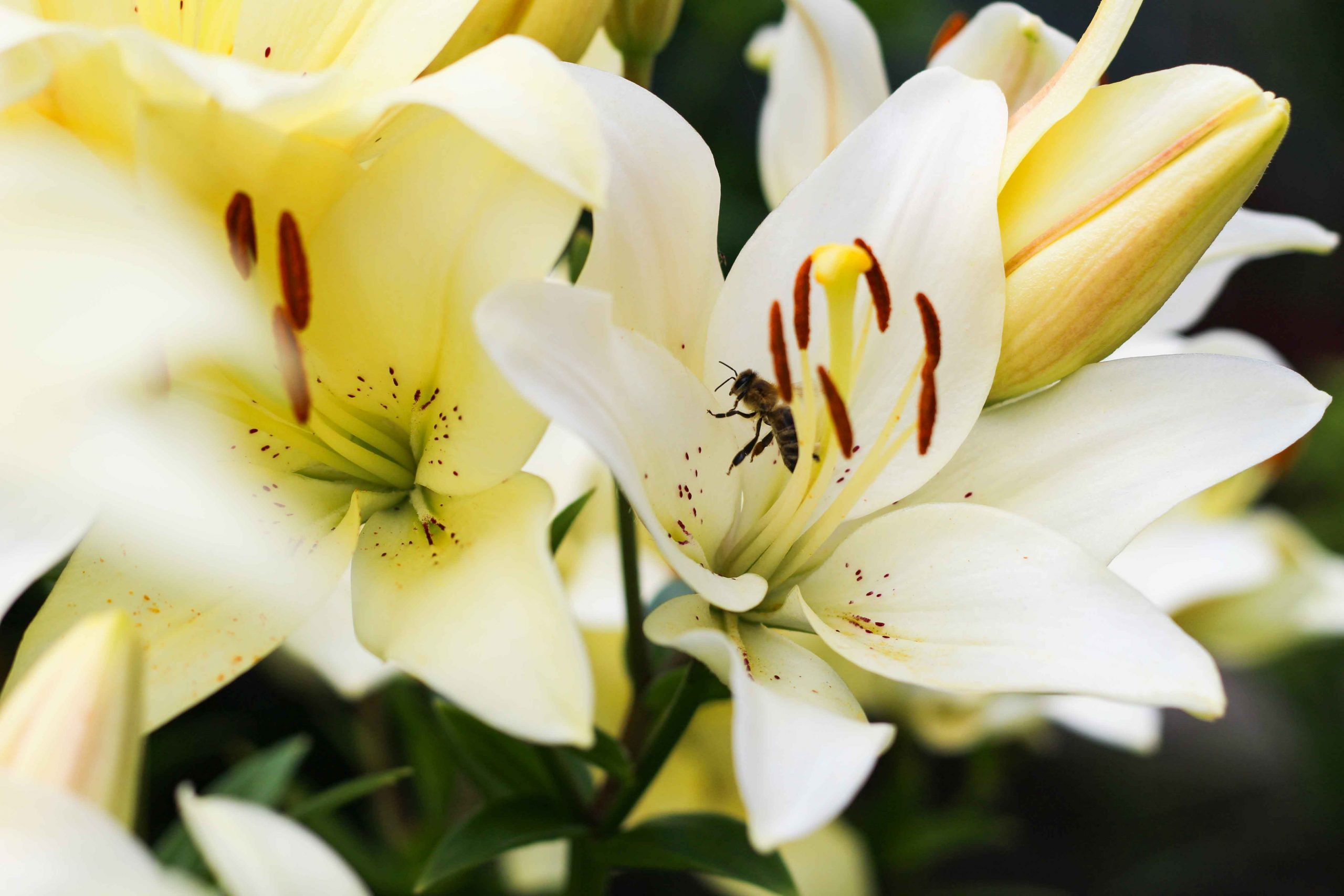 close-up photography of wasp sniffing on petaled flower