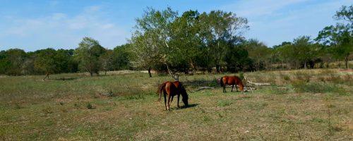 Pădurea Letea – un alt capăt al României uitate, cu cai sălbatici și cu șacali.